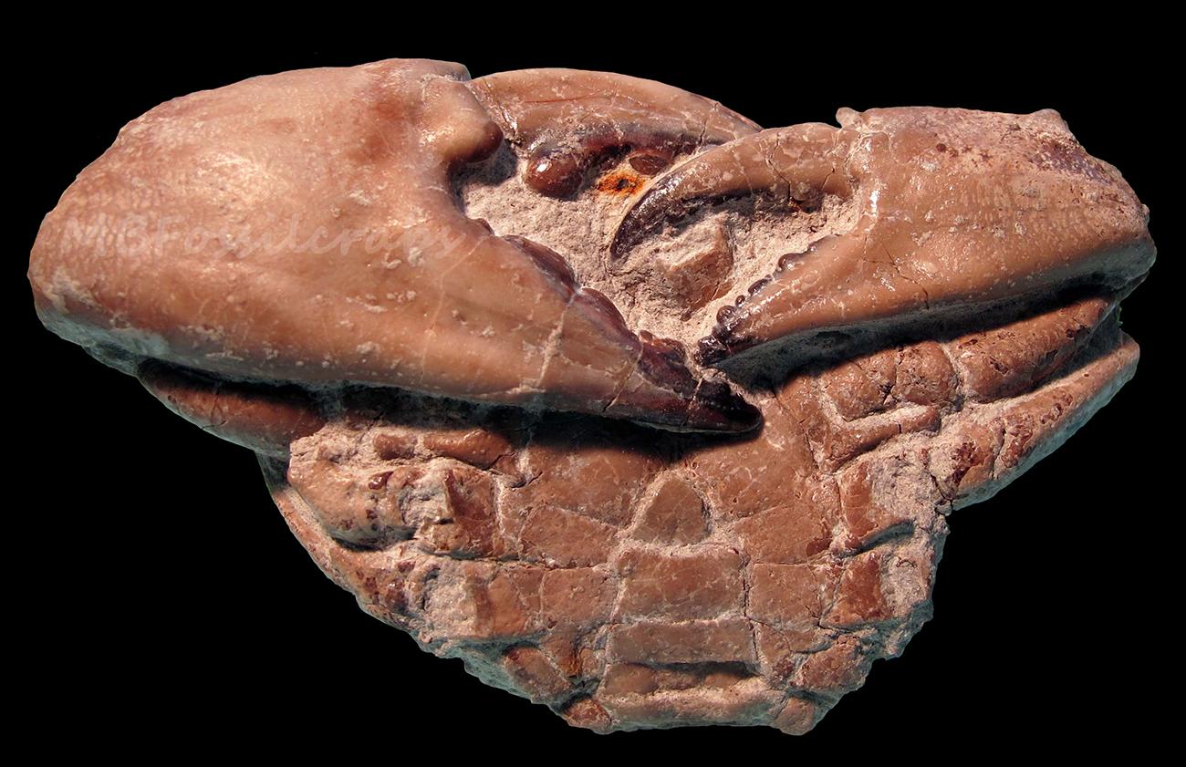 Xantilithes macrodactylus